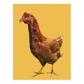 Rhode Island Red Hen Chicken Postcard