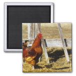 Rhode Island Red Rooster 2 Inch Square Magnet