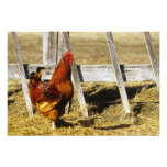 Rhode Island Red Rooster Photo Print