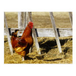 Rhode Island Red Rooster Postcard