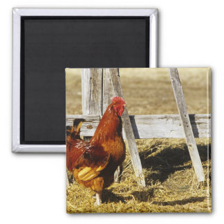 Rhode Island Red Rooster Refrigerator Magnets