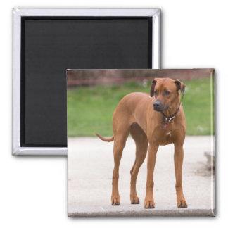 Rhodesian Ridgeback dog beautiful photo, gift 2 Inch Square Magnet