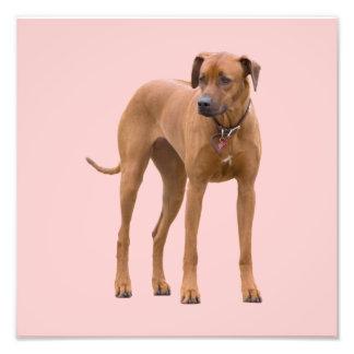 Rhodesian Ridgeback dog beautiful photo, gift Photo Print