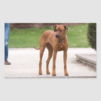 Rhodesian Ridgeback dog beautiful photo, gift Rectangular Sticker