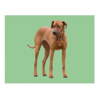 Rhodesian Ridgeback dog beautiful photo Postcard