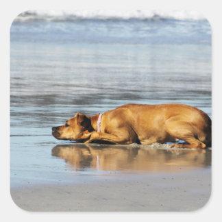 ¿Rhodesian Ridgeback - es el agua fría? Pegatina Cuadrada