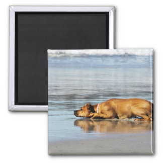 Rhodesian Ridgeback - Is the Water Cold? 2 Inch Square Magnet