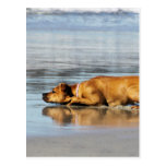 Rhodesian Ridgeback - Is the Water Cold? Post Card