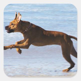 Rhodesian Ridgeback - salto Calcomania Cuadradas Personalizada