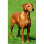 "Rhodesian Ridgeback sculpture<br><div class=""desc"">A Rhodesian Rigeback cut out sculpture on acrylic stand.</div>"