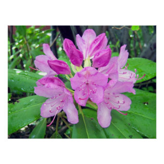 Rhododendron 1 Poster