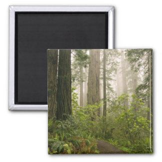 Rhododendron blooming among the Coast Redwoods Magnets