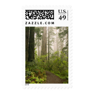 Rhododendron blooming among the Coast Redwoods / Postage Stamp