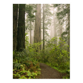 Rhododendron blooming among the Coast Redwoods / Postcard