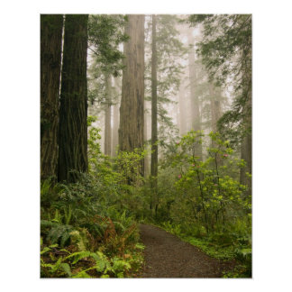 Rhododendron blooming among the Coast Redwoods / Poster