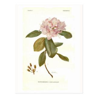 Rhododendron carolinianum postcard