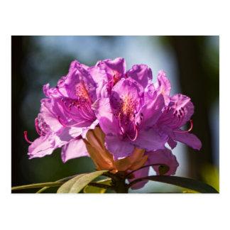 Rhododendron in der Sonne. Postcard