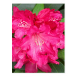Rhododendron In Pink Postcard
