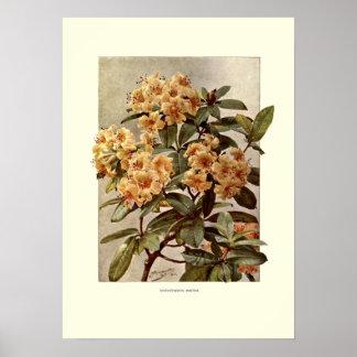 Rhododendron var minerva poster