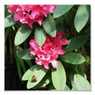 Rhododendron with Butterfly Poster