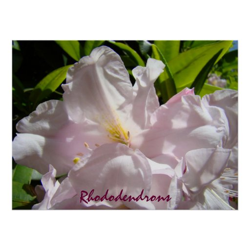 Rhododendrons art prints Pink Rhodies Floral Print