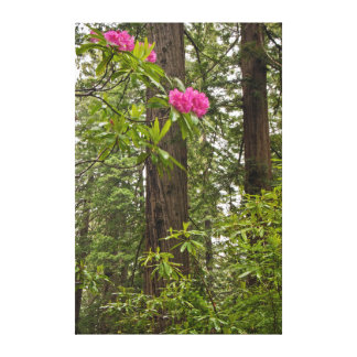 Rhododendrons Blooming With Coast Redwood Trees Canvas Print