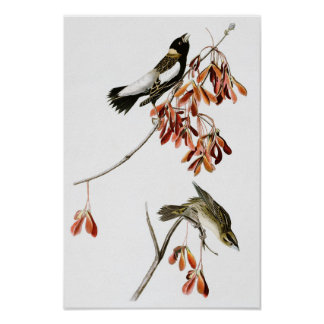 Rice Bird John James Audubon Birds of America Poster