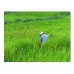 Rice harvest postcard
