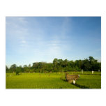 Rice paddy field in Bali Post Card