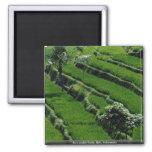Rice paddy fields, Bali, Indonesia Fridge Magnets
