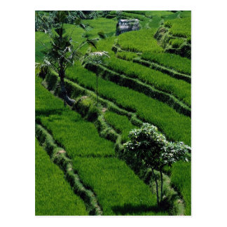 Rice paddy fields, Bali, Indonesia Post Cards