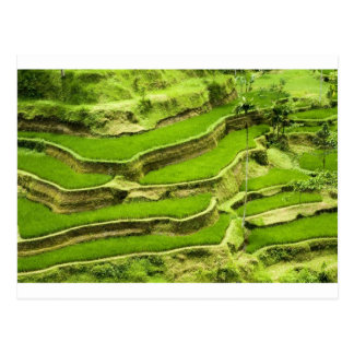 Rice terrace in Bali Postcard