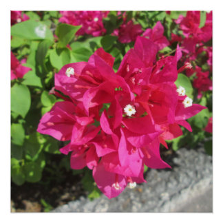 Rich Red Bougainvillea Poster