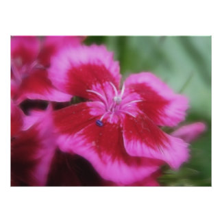 Rich Rose Colored Sweet William Poster