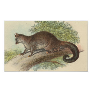 Richard Lydekker - Common Phalanger/Possum Folio Print