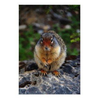 Richardson Ground Squirrel Photo Print