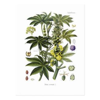 Ricinus communis (ricino) tarjetas postales