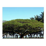 Riegue el árbol por la playa, Hilo, Hawaii Tarjetas Postales