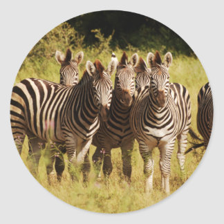 Right at You - zebras safari wildlife Classic Round Sticker