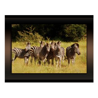 Right at You - zebras safari wildlife Postcard