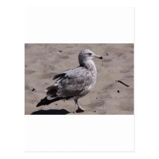 Ring-Bill Gull Postcard