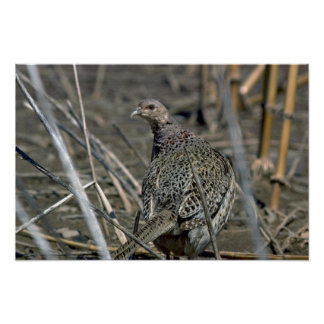 Ring-necked hen pheasant, alert and wary in open f poster