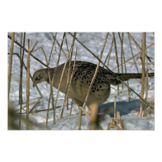 Ring-necked hen pheasant posters