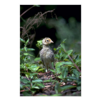 Ring-necked pheasant chick (about one week old) posters