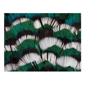 Ring-Necked Pheasant Feathers Postcard