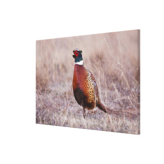Ring-necked Pheasant Phasianus colchicus) Gallery Wrap Canvas