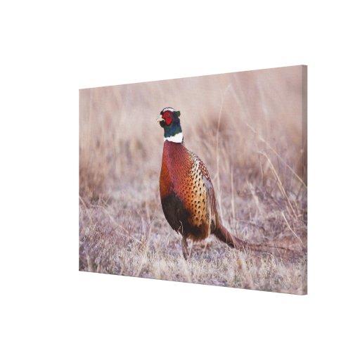 Ring-necked Pheasant Phasianus colchicus) Canvas Print