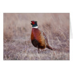 Ring-necked Pheasant Phasianus colchicus) Card