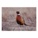 Ring-necked Pheasant Phasianus colchicus) Poster