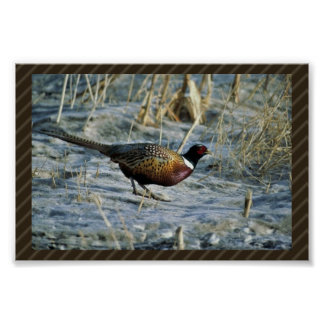 Ring-necked pheasant posters